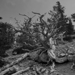 Bristlecone Pine on the way to Rock Glacier